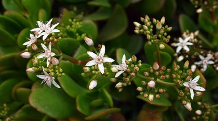 jade_plant_flowers1